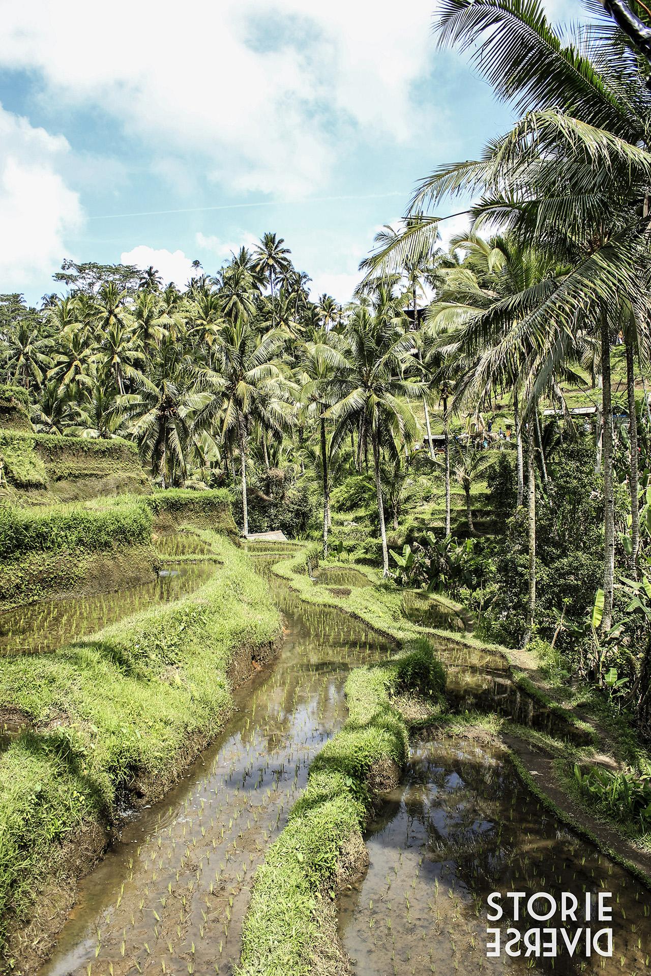 MG_1736 Le risaie di Tegalalang - Bali