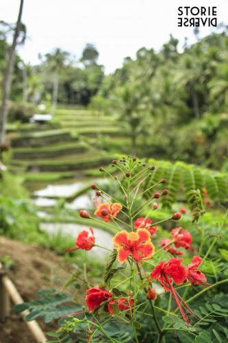 _MG_1812 Bali e le sue risaie